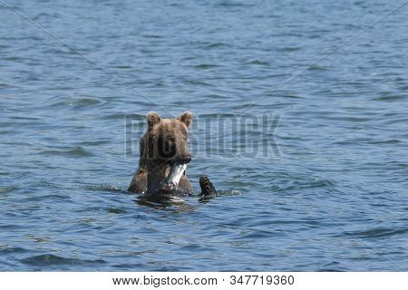 Successful Catch - A Young Grizzly Bear With Salmon On The Coast Of Katmai, Alaska