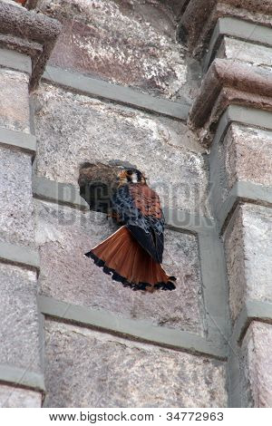 American Kestrel Perched on the side of a building