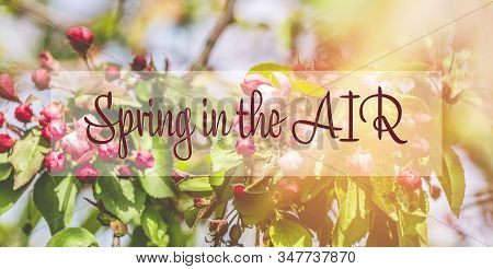 Spring Is In The Air Phrase In The Frame. Spring Background Art With Pink Apple Tree Blossom. Beauti