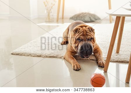 Cute Shar-pei Dog Playing With Toy At Home