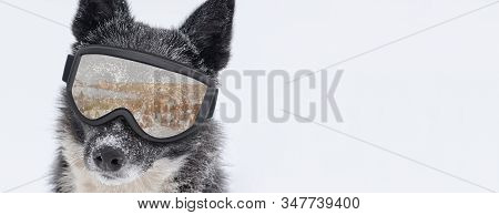 Funny Dog A Snowboarder Isolated On White Background.