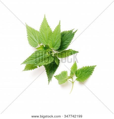 Stinging Nettle, Urtica Dioica, Close Up, Isolated On White