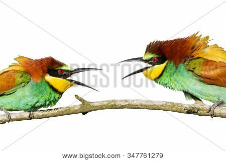 Beautiful Colored Birds Conflict Isolated On A White Background