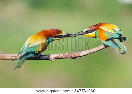 Courtship Of Birds Of Paradise In The Spring