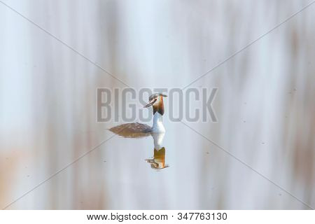 Great Crested Grebe On Water (podiceps Cristatus)