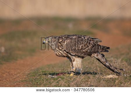 Falconry. Close-up Portrait Of A Hawk With A Telemetry Transmitter. Accipiter Gentilis.