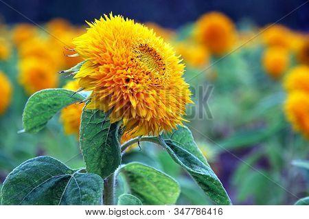Helianthus Annuus  L. (sunflower , Or Heliotrope And Honeydew) Closeup