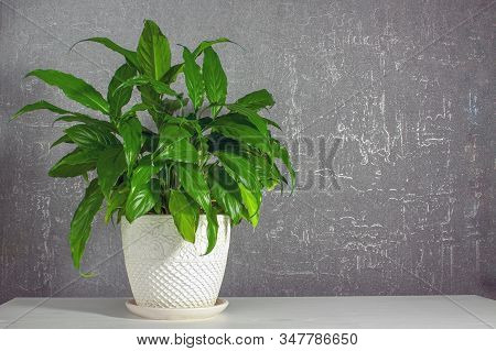 Lush Green Spathiphyllum In A Large White Ceramic Pot With Patterns On A White Table On A Gray Backg
