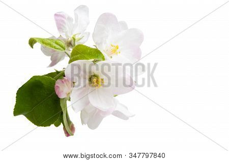 Apple Tree Flowers Isolated On White Background