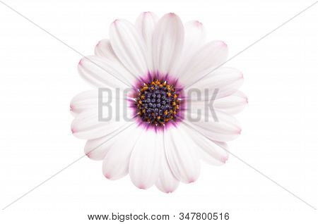 Osteosperumum Flower Daisy Isolated On White Background