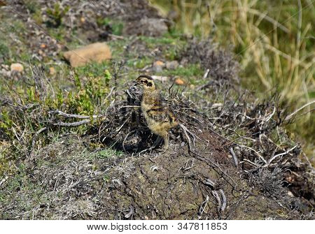 Adorable Red Ruffed Grouse Chick Standing On The Moors.