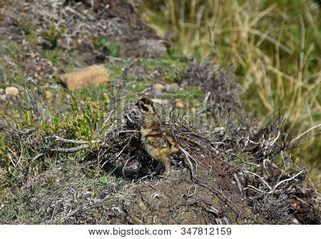 Cute Red Ruffed Grouse Chick On The North Yorkshire Moors.