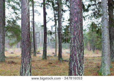Plentry Of Pine Tree Trunks Close Up.