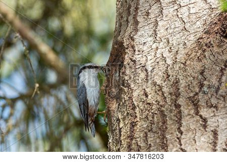 Eurasian Nuthatch With Food Standing On Tree Trunk.