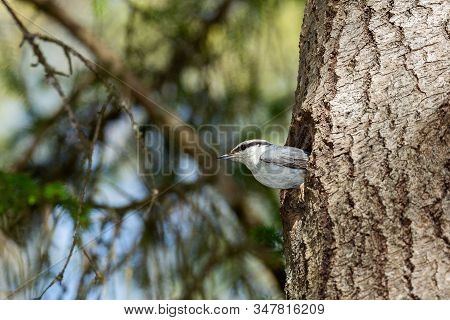 Eurasian Nuthatch Looking Out From Nest In Tree Trunk.