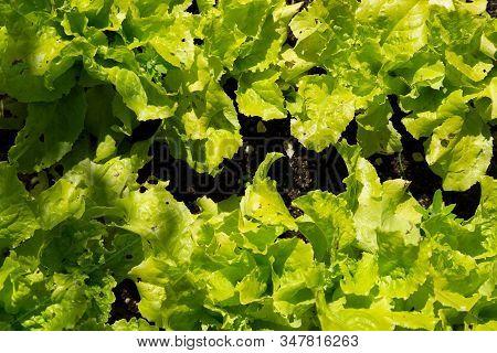 Lettuce Growing In Soil Close Up Macro.