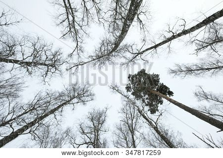 Sky With Winter Forest. Great Background With Copyspace. Nature Landscape. Stock Photo.