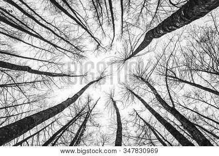 Winter Tree Tops Viewed Looking Up. Black And White Image Of Leafless Trees. Treetops Pattern. Botto