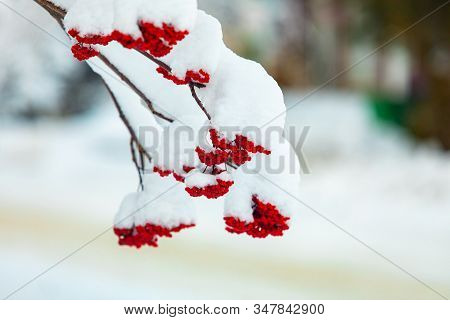 A Close Up Shot On The Red Fruit Of Canadian Holly, Aka Ilex Verticillata, Canada Winterberry, Black