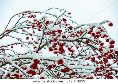 A Low Angle Closeup Shot Of Ilex Verticillata, Canadian Winter Berry Holly Tree, With Bunches Of Red