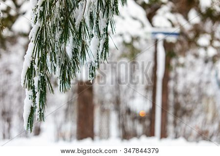 A Close Up Selective Focus Shot Of Green Coniferous Pine Needles Hanging From A Tree, Covered In Sno