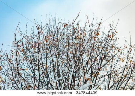 A Low Angled Shot Of A Leafless Tree With Snow Covered Delicate Treetop Branches. Mid Winter Freezin