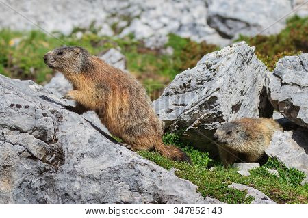 Alpine Marmot (marmota Marmota) On Rock. Dolomite Alps, Italy