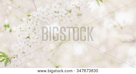 Cherry Branch With White Flowers. Spring Blooming Tree Background. Nature Backdrop. Blooming Spring