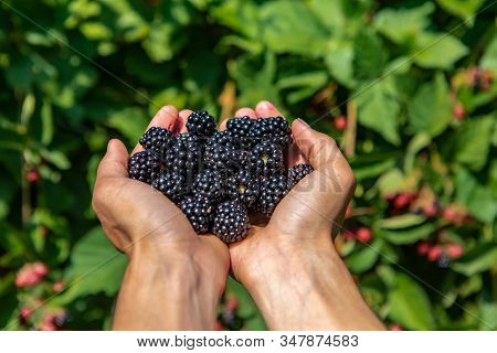 A Handful Of Ripe And Fresh Blackberry Fruits. Farm Worker Hands Full Of Blackberries Fruit In Close