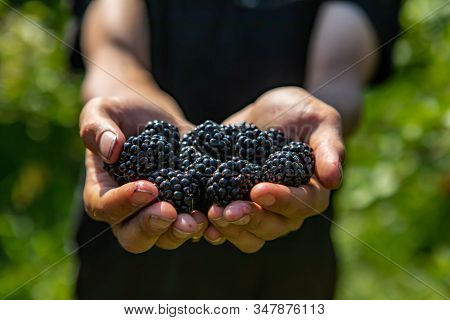 A Handful Of Ripe And Fresh Blackberry Fruits. Farm Worker Or Picker Man Hands Full Of Blackberries