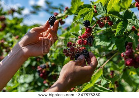 Farm Worker Hands Picking Ripe Blackberries Fruits From The Blackberry Bush, Hand Holding And Showin