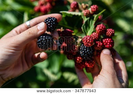 Selective Focus And Close Up Shot Of Hands Holding Black Ripe And Red Unripe Blackberries Fruits On