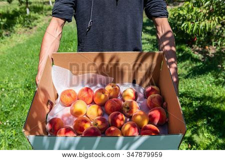 Close Up Shot Of Man Hands As He Holding Cardboard Package Box Full Of Fresh And Ripe Picked Peach F