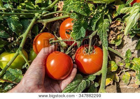 Picking Heirloom Organic Tomatoes Grown In Open Field, Hand Taking Fresh Red Ripe Tomato Fruit From