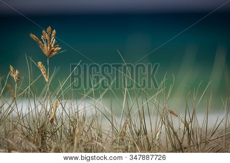 Selective Focus Close Up View Of Seagrass, Coast Plants, With Blurred Blue Sea Background And Copy S