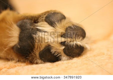 Dogs Paw Close Up At Home. Domestic Animal Lying On The Carpet. Large Or Medium Sized Pooch. Sable C