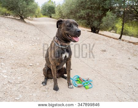Portrait Of Old Big Staffordshire Bull Terrier Dog In The Park