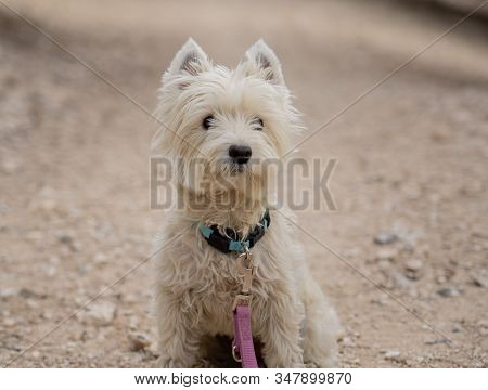 Portrait Of A West Highland White Terrier In The Park