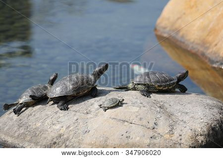 Painted Turtles Basking In The Sun At The Pool