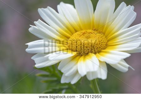 Glebionis Coronaria Chrysanthemums, A White And Yellow Daisy. Common Names: Garland Chrysanthemum, G