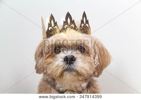 Lhassa Apso Dog With Golden Crown Made In Cardboard