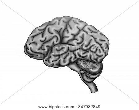 Illustration Of The Healthy  Human Brain Anatomy.