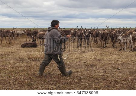 Tundra, The Extreme North, The Extreme North,  Yamal,   Reindeer In Tundra, Deer Harness With Reinde