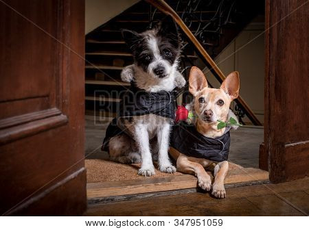 Couple Of Two Dogs  For Happy Valentines Day With  Rose Flower In  Mouth , At The Door Of Home