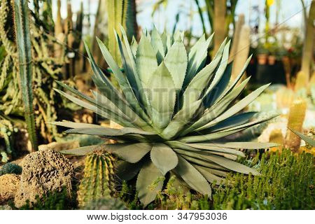 Large Blue Agave Plant In Botanical Garden. Agave Tequilana Use For Creation Distilled Alcoholic Bev