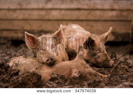 African Swine Fever Virus, Asfv. Two Pigs In The Mud Next To A Sick Pig