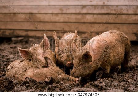 African Swine Fever Virus, Asfv. Three Pigs In The Mud On A Farm Next To A Sick Pig