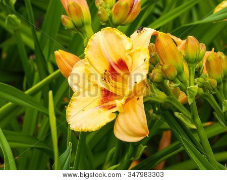 Large Yellow Flower, Buds And Green Leaves Of The Daylily Hemerocallis Variety Custard Candy