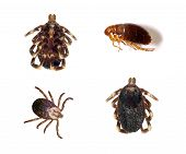 Several views of ticks and a flea isolated over a white background. poster