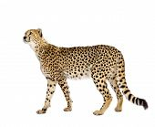 Cheetah - Acinonyx jubatus in front of a white background poster